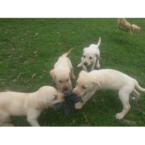Filhotes Labrador Puros (ler Anuncio)