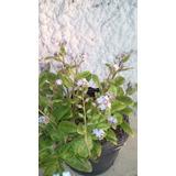 Planta De Myosotis No Me Olvides Floral