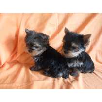 Yorkshire Terrier Hembras Ambos Padres Con Fca