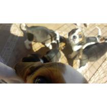 Cachorros Beagle 1 Mes 15 Días, Solo Quedan 4 Machos Y Hemb