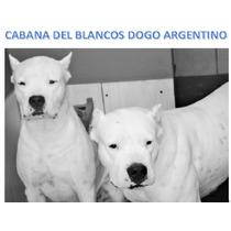 Dogo Argentino, Filhote Fêmea Totalmente Branco