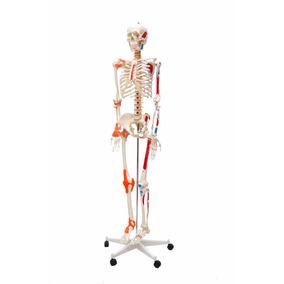 Esqueleto Humano Com Articulações E Inserções Musculares