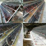 Jaula Gallinas Ponedoras 96 Aves Blancas Piso Cerrado