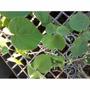 Muda De Louro Branco ( Bastardiopsis Densiflora ) - 8 A 20cm