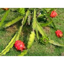 6 Esquejes De Pitahaya Blanca Y Guinda(fruta Dragon) 50 Cm