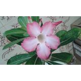 Muda De Rosa Do Deserto Cor Rosa Com 40cm Adenium Obesum