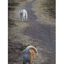 Pomeranian Blanco Busca Novia