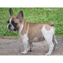 Bulldog Frances Femea Blue Gen Linda Filhote, Pedigree Cbkc