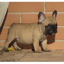 Bulldog Frances Macho Blue Gen , Filhote Top Pedigree Cbkc