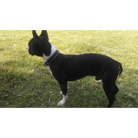 Se Busca Novia Para Boston Terrier.