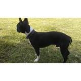 Se Busca Novia Para Boston Terrier.