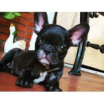 Bulldog Frances Macho Criadero Ilmioaziendamascotas