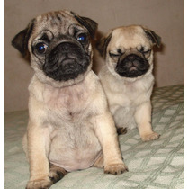 Hermosos Cachorros De Pug Carlino Con Pedigre Fca