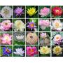 10 Sementes Flor De Lótus (20 Cores, Escolha) Raras