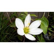 Azucena De Río - Zephyranthes Candida - Planta Nativa Flor