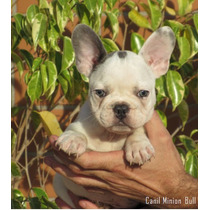 Bulldog Frances Macho, Blue Pied /gen Choco.pedigree Cbkc...