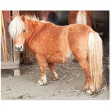Yegua Miniatura Chiquita - Caballito Mini Pony