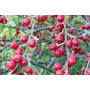 Azeitona De Outono - Sementes Fruta Para Mudas E Bonsai