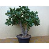 Muda De Planta Jade - Crassula Ovata - Mini Árvore Bonsai