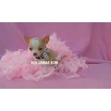 Chihuahua Cachorro Macho Super Mini Pedigree Padre Campeon