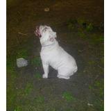 Bulldog Ingles Blanco Semental