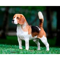 Beagle - Como Criar Seu Filhote (frete Gratis) + Brinde!