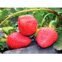 Plantas Organicas De Frutillas En Macetas Nº9