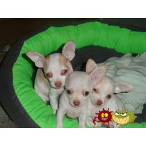 Hermosos Cachorros Chihuhuas Cabeza De Manzana