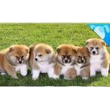 Cachorros Akita Japones