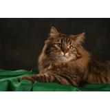 Gatos Siberianos - Cachorros - Colores
