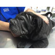 Hermoso Cachorro Pura Sangre De Sharpei Linea Europea