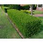 Buxus Sempervirens E10 (cerco Vivo) Envíos