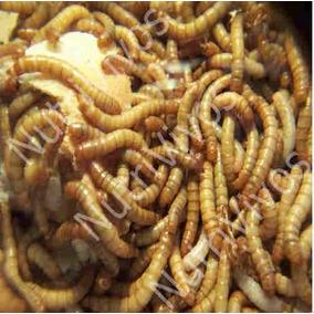 Tenebrio Molitor - 500 Larvas Vivas - Bicho Do Pão