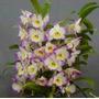 Orquidea Dendrovium Yamamoto