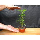 Bonsai Acer Palmatum Matsumurae - 100% Japanese -