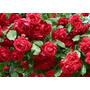 Rosales, De Rio Negro, Rosauer, Colores, Dia De La Madre
