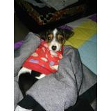 Fox Terrier Foz Terry Cachorros Pelo Liso Vendo Puros Raza