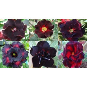 Rosa Do Deserto Kit Negras Frete Gratis 18 Sementes - 6 Tons