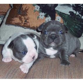 Bulldog Frances Blue!!! Se Vende Pareja!!! Oportunidad!!!