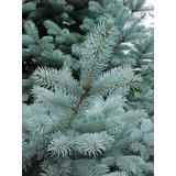 Los Abetos Más Azules: Picea Pungens Glauca!!!