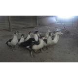 Patos Criollos Jóvenes De 3 Meses