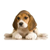 Hormônio Feromônio Crescimento Filhotes Cães-cachorro Adulto