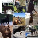 Cachorros Doberman Pedigrí Internacional Golondrino Y Sepia