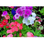 60 Sementes De Flor Phlox Drummond + Frete Gratis