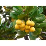 Abricó Da Praia - Labramia Bojeri - Sementes Fruta Para Muda