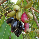 15 Mudas De Fruta Jambolão No Tubete - Arvore Frutífera