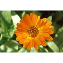 Flores De Calendula Secas Presentacion De 40gramos