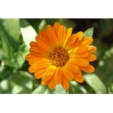 Flores De Calendula Secas 100% Organicas Presentacion 40gr