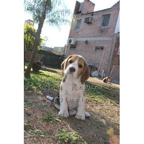 Cachorros Beagle Con Pedigree Fca