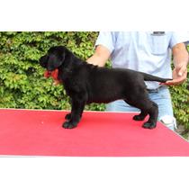 Hermosos Cachorros Labrador Aptos A Pedigree Internacional